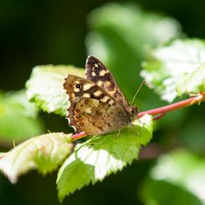 1406 speckled wood