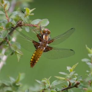 1407 broad bodied chaser dragonfly female