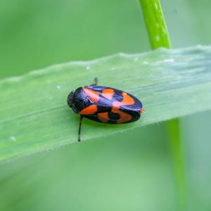 Cercopis vulnerata red and black froghopper