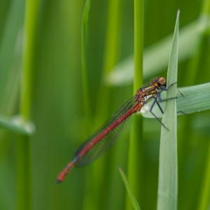 large red damselfly2