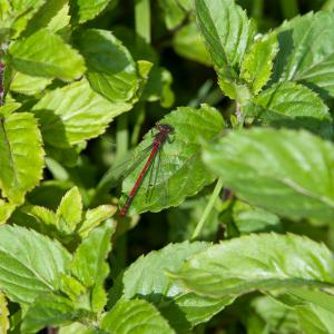 large red damselfly5