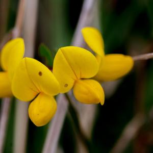 meadow vetchling3