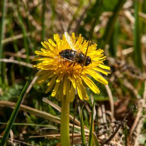 sunfly on dandelion in march
