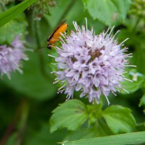 turnip sawfly athalia rosae on watermint