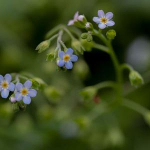 waterforget me not2